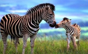 adorable-mare-and-foal-zebra_w520